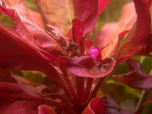 מחסור בסידן צמחי אקווריום