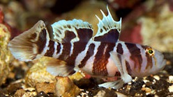 Black Barred Convict Goby