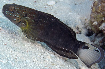 Brownbarred goby