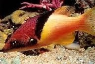 Eclipse Coral Hogfish