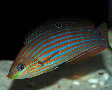 Hoeven\'s Wrasse