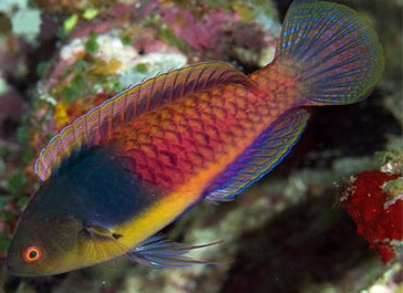 Bluehead Fairy Wrasse
