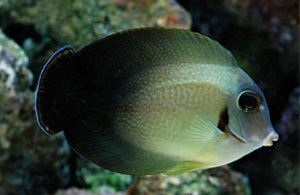Mimic Half Black Tang