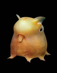 Grimpoteuthis
