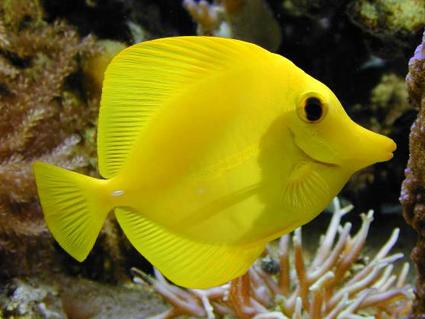 דג Yellow Surgeonfish