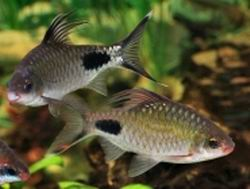blackspot barb