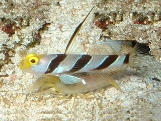 goby blackray