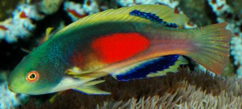 Scott\'s Fairy Wrasse