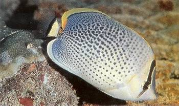 Spotted Butterflyfish