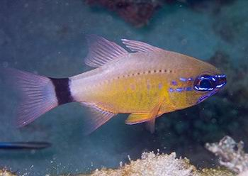 Golden Cardinalfish