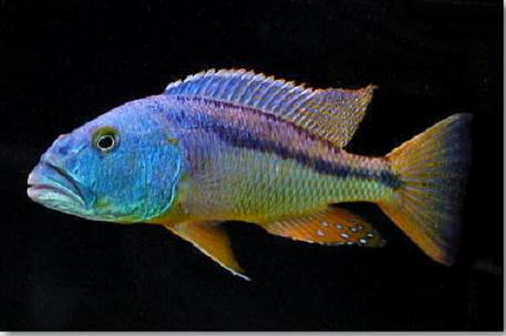 ציקליד אריסטוכרומיס קריסטי   Aristochromis christy