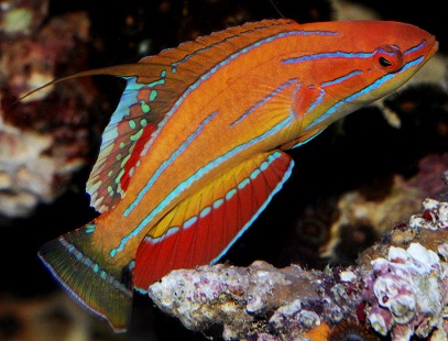 Carpenter\'s Flasher Wrasse