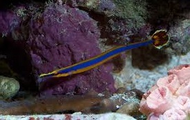 Bluestripe Pipefish